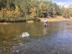 hooked trout jumping on Big River Farm.